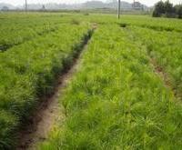 供应1.5米油松3年白皮松处理核桃树苗,樱桃树苗,山楂苗