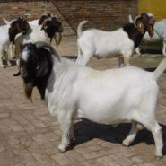 宜兴县1-3个月波尔山羊的最新价格图片