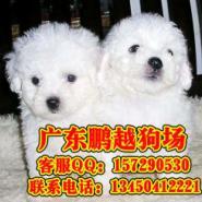 深圳哪里有卖泰迪贵宾幼犬图片