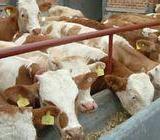 供应西门塔尔育肥牛价格