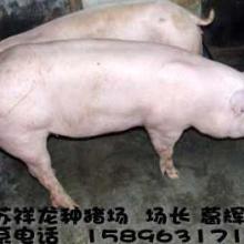 供应绍兴二元母猪