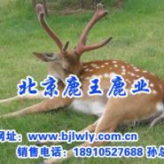 饲料添加剂/梅花鹿繁殖/鹿茸价格图片
