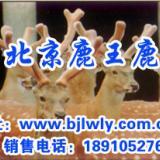 供应梅花鹿鹿产品好不好,梅花鹿鹿肉价格,梅花鹿养殖业,梅花鹿种鹿