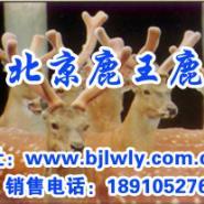 梅花鹿养殖基地/梅花鹿养殖技术图片