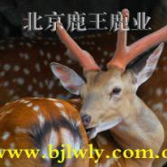北京2011梅花鹿养殖场图片
