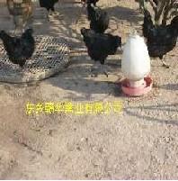 供应黑羽绿壳蛋鸡种苗价格