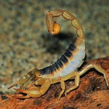 供应蝎子养殖利润※蝎子养殖前景※蝎子养殖加盟※蝎子种苗价格批发