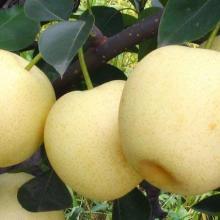 梨树苗 早酥梨树苗 黄金梨树苗