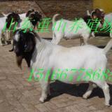 供应波尔山羊公羊纯种波尔山羊