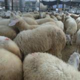 供应小尾寒羊最新价格