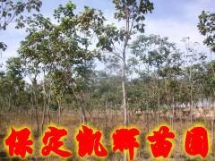 供应楸树产地价,楸树苗圃基地,楸树价格,楸树市场,楸树苗木基地。