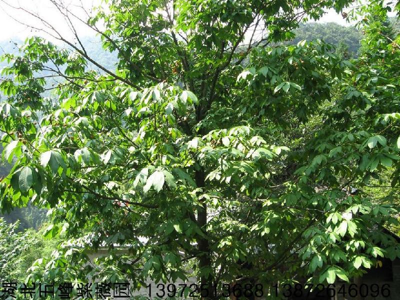 供应七叶树种子价格/七叶树种子/七叶树种子报价多少钱?
