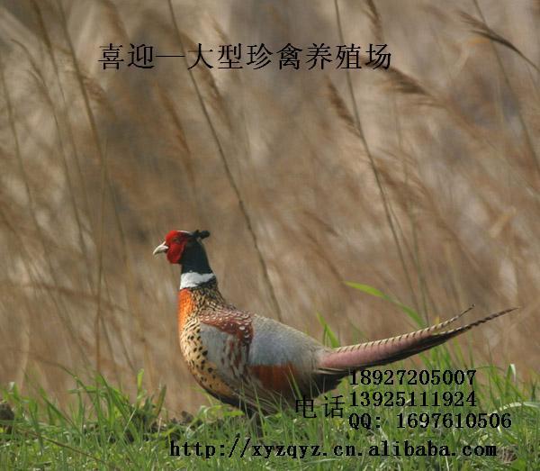 直销广州七彩山鸡种苗广东苗销售