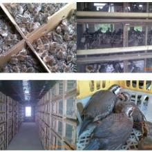 供应特种经济养殖珍禽动物种苗大特卖——佛山高明鹧鸪种苗