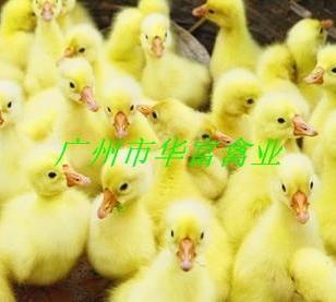 马岗鹅苗厂家图片