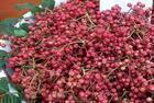 山西花椒苗种植方法技术图片