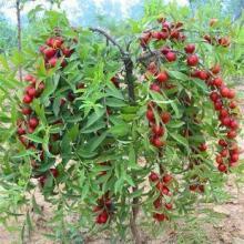 供应用于种植的钙果苗产品信息,钙果苗批发价格