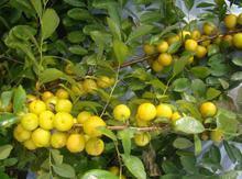 供应用于种植的钙果苗,钙果苗批发基地