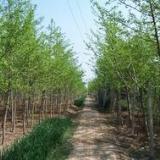 供应绿化用银杏