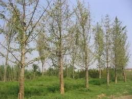 供应20公分至40公分银杏树专供