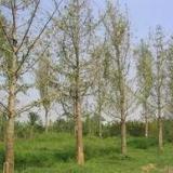 供应热门产品银杏树