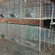 日本大耳兔供应商肉兔种兔养殖基地图片