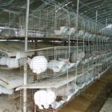 供应2011年獭兔价格预测