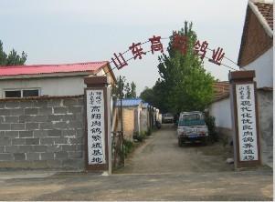 供应新疆肉鸽、新疆种鸽、新疆鸽子图片