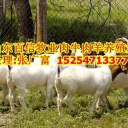 山东金乡哪里有养羊场金乡波尔山羊图片