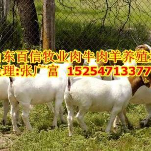 河南波尔山羊养殖基地河南养羊基地图片