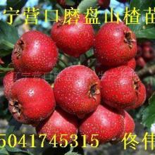 供应辽宁山楂树营口山楂苗熊岳果树苗木产品好价格低