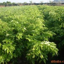 广东黄花梨种植基地供应批发价报价哪里有多少钱批发