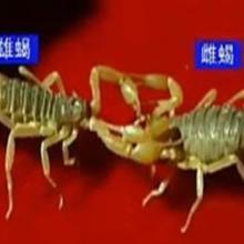 供应长期提供山西晋城蝎子种苗、河北蝎子、衡水蝎子、邢台蝎子、沧州蝎子批发