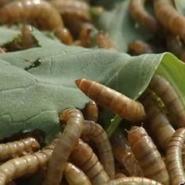 黄粉虫养殖技术的先进性有哪些图片
