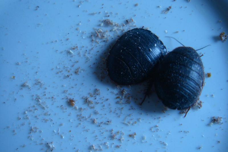 供应邯郸土元卵块曲霉病的防治方法、土元干品、土元鲜虫、土元种虫