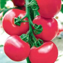 供应粉果番茄种子粉冠 西红柿种子代理价格 蔬菜种植基地 番茄种子图片