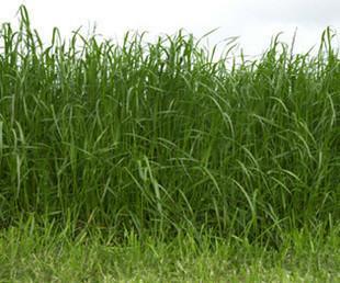 多年生黑麦草种子图片/多年生黑麦草种子样板图 (3)