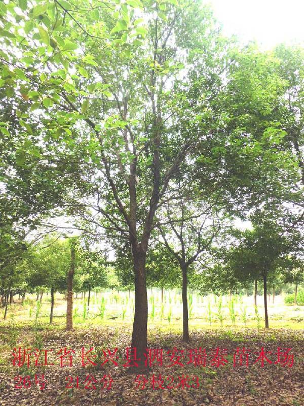 供应达州香樟树