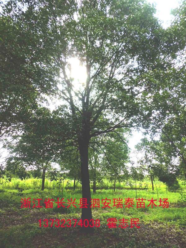 供应福建香樟树价格-福建香樟树报价-福建香樟树批发