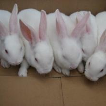 供应2011年獭兔养殖业的前景
