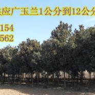 广玉兰5到12公分大量供应图片