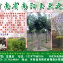木瓜海棠2公分5公分6公分7公分图片