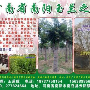 辛夷树各种规格3到60公分图片