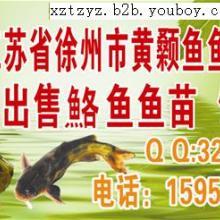 供应黄颡鱼价格,黄颡鱼销售,黄颡鱼供应,黄颡鱼供应商电话批发