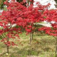 红枫小苗米径2到8公分量大批发图片
