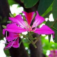 洋紫荆树苗供应商图片