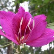 洋紫荆树苗种植图片