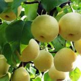 供應香梨文化