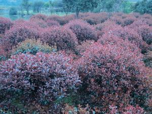 湖南红叶石楠大树红叶石楠小苗价格图片
