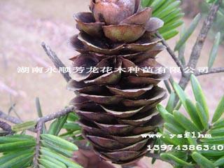 供应南方铁杉种子